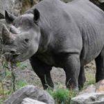 Zwarte neushoorn Wanda vertrekt uit Diergaarde Blijdorp