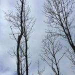 Bomen Vaanweg worden gerooid door valgevaar